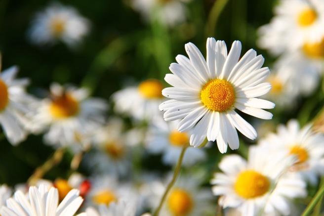 daisies-276112_960_720.jpg