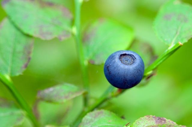 blueberry-1730_640